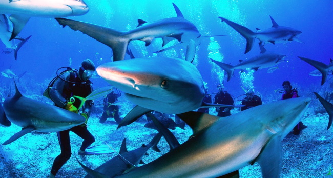 Diving with Sharks in the Great Barrier Reef