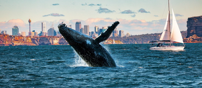 Whale Watching in Sydney and Gold Coast